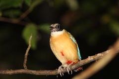 Blue Winged Pitta Stock Image