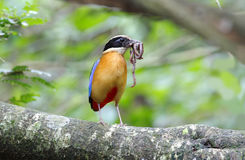 Blue winged Pitta Pitta moluccensis Royalty Free Stock Photos