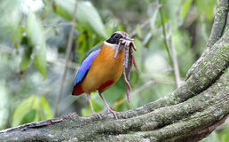 Blue winged Pitta Pitta moluccensis Royalty Free Stock Photography