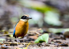 Blue - winged pitta in rain forest Royalty Free Stock Photography