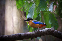 Blue-Winged Pitta on tree Royalty Free Stock Image