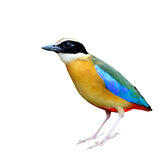 Blue winged Pitta Royalty Free Stock Photo