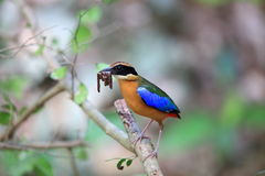 Blue-winged pitta Royalty Free Stock Images
