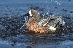 Blue-winged Teal Stock Image