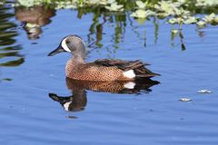 Blue-winged Teal Royalty Free Stock Image