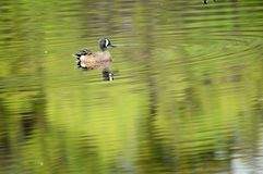 Blue-winged teal (Anas discors) in water Royalty Free Stock Photos