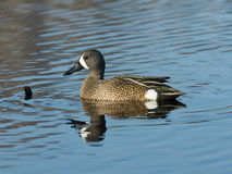 Blue-winged Teal Stock Photography