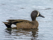 Blue-winged Teal Drake Stock Images