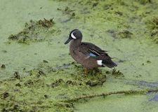 Blue-winged teal duck Stock Photos