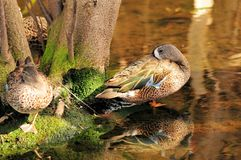 Blue-winged Teal Duck Stock Images