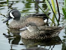 Blue-winged Teal Duck Anas discors stock images