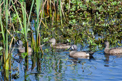 Blue-winged Teal ducks, Savannah National Wildlife Refuge stock photos