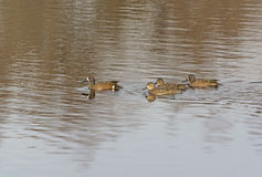 Blue-winged Teal Family out for a Swim Stock Photos