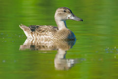 Blue-winged Teal Royalty Free Stock Images