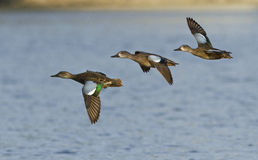 Blue-winged Teal in flight Stock Photography
