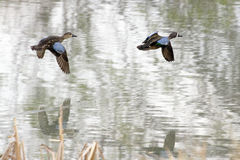 Blue-winged Teal in Flight Stock Image