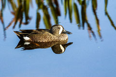 Blue Winged Teal Royalty Free Stock Photos