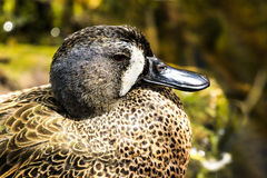 Blue Winged Teal Stock Image