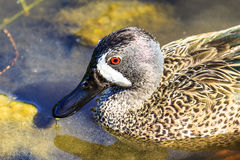 Blue Winged Teal Royalty Free Stock Photo