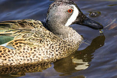 Blue Winged Teal Royalty Free Stock Photography