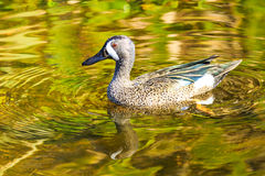 Blue Winged Teal Royalty Free Stock Image