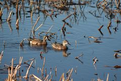 Blue-winged Teal Pair. A breeding pair of blue-winged teals swimming and feeding among reeds along the shore of Lake of the Woods at Warroad Park Point in Stock Photo