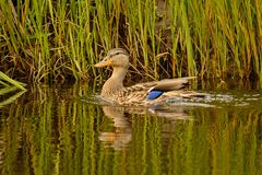 Blue Winged Teal. Royalty Free Stock Photo