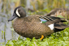 Blue-winged Teal resting. A Blue-winged Teal resting on the bank of a pond Stock Image
