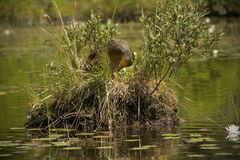 Blue-winged teal sitting on nest in shrub in lake. Stock Photos