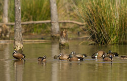 Blue-winged Teal Stock Photo