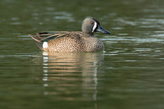 Blue-winged Teal. Swimming in the open water Royalty Free Stock Photo