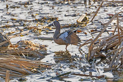Blue-Winged Teal in a Wetland Royalty Free Stock Photos