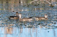 Blue winged teals royalty free stock photo
