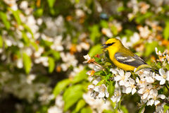 Blue-winged Warbler Stock Photos