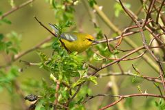 Blue-winged Warbler. Perched on a branch looking for its next meal. Rosetta McClain Gardens, Toronto, Ontario, Canada Stock Photos