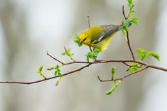 Blue-winged Warbler. Perched on a branch looking for its next meal. Rosetta McClain Gardens, Toronto, Ontario, Canada Stock Photo