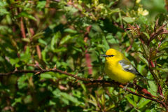 Blue-winged Warbler. A Blue-winged warbler perched in the trees during spring Royalty Free Stock Image