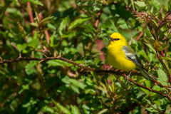 Blue-winged Warbler. A Blue-winged warbler perched in the trees during spring Royalty Free Stock Photography