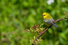 Blue-winged Warbler. A Blue-winged warbler perched in the trees during spring Stock Photo