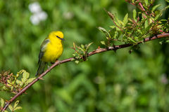 Blue-winged Warbler. A Blue-winged warbler perched in the trees during spring Stock Image