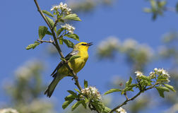 Blue-winged Warbler Vermivora cyanoptera. Singing from a flowered tree branch on a sunny day in the spring Royalty Free Stock Photography