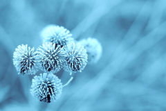 Blue Winter Burdock Royalty Free Stock Photo