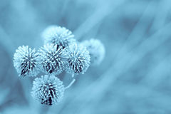 Blue Winter Burdock. Frozen burdock plant + blue filter Royalty Free Stock Photos