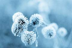 Blue Winter Burdock II royalty free stock photos