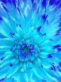 Blue winter flower royalty free stock photography
