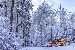 Blue Winter Forest Royalty Free Stock Image