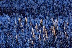Blue winter landscape, birch tree forest with snow, ice and rime. Pink morning light before sunrise. Winter twilight, cold nature Stock Photo