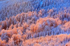 Blue winter landscape, birch tree forest with snow, ice and rime. Pink morning light before sunrise. Winter twilight, cold nature Royalty Free Stock Photography