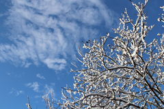 The blue winter sky. Snow on tree branches Stock Photos