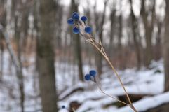 Blue Winter. Though frozen, they still make a tasty treat Royalty Free Stock Photography